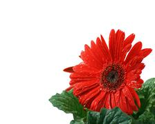 Beautiful Red Gerbera Daisy With A Clipping Path - stock photo