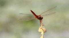 Isolated red dragonfly Stock Footage