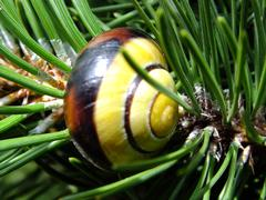 A colorful snail on a pine-tree twig - stock photo