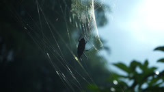 Beetle Stuck On A Sticky Spider Web And Trying To Escape Stock Footage