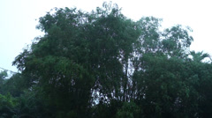 Bamboo Tree Leaves Swaying During Dawn In Malaysia Rural Area Stock Footage