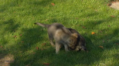 Czechoslovakian wolfdog pair of pups playing on lawn + adult - stock footage
