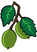 Gooseberry Stock Illustration