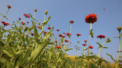 Beautiful Zinnia flower field in breeze with blue sky Stock Footage