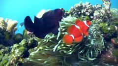 Spinecheek anemonefish (Premnas biaculeatus) Stock Footage