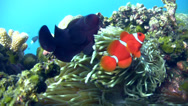 Stock Video Footage of Spinecheek anemonefish (Premnas biaculeatus)
