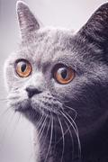portrait of gray shorthair british cat - stock photo