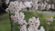 Stock Video Footage of Cherry Blossoms in full Bloom moving in the Wind