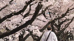 Beautiful Snowing Cherry Blossoms leaves falling to the ground Stock Footage