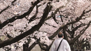 Stock Video Footage of Beautiful Snowing Cherry Blossoms leaves falling to the ground