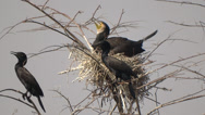 Stock Video Footage of cormorant on the nest close up