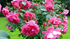 Roses in the Coloma Rose Garden. Stock Footage
