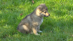 Czechoslovakian wolfdog pup sits on lawn,  looks around and walks away - stock footage