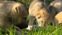 Czechoslovakian wolfdog pups eat from bowl - close up, low angle - stock footage