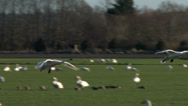 Stock Video Footage of Swans Landing On A Green Field, 4K, UHD