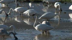 Trumpeter Swans In Mud Stock Footage