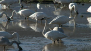 Stock Video Footage of Trumpeter Swans In Mud