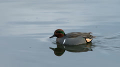 Green Winged Teal On Pond, 4K Stock Footage