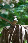 red bellied woodpecker on palm frond - stock photo