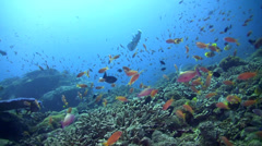 Hard coral reef with clouds of fishes and spotted porcupinefish Stock Footage