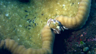 Stock Video Footage of Spotted porcelain crab (Neopetrolisthes maculatus) catching food