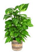 epipremnum aureum plant - stock photo