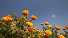 Beautiful Marigold flower field in breeze Stock Footage