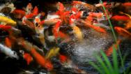 Stock Video Footage of Koi Carp Fish