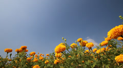 Marigold flower with blue sky Stock Footage