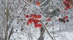 Viburnum opulus cluster of frozen red berries Stock Footage
