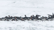 Stock Video Footage of Thousands flying geese over a winter snow field.