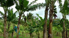 St. Lucia Soufrière area  088 a banana plantation Stock Footage