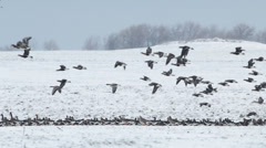 Thousands flying geese over a winter snow field. Stock Footage
