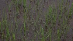 Rice paddy in Ninh Binh Stock Footage