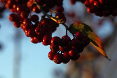 Rowan berries in the fall in natural setting Stock Photos