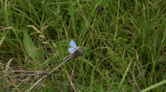 Light blue butterfly ih grass. Stock Footage