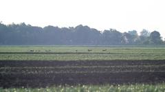 Roe deer in green wheat. 2 Stock Footage