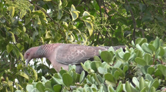 Pigeon Eating Fruits, close up Stock Footage