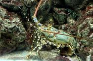 Stock Photo of crayfish spiny rock lobster being sheltered reef area.