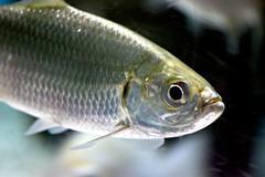 atlantic tarpon fish in aquarium. - stock photo