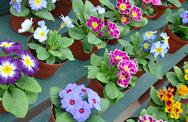 Stock Photo of colorful pots of primroses