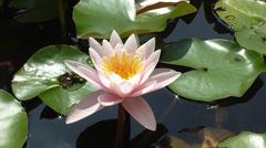White Lotus Flower Stock Footage