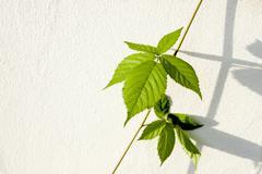 stem and leaves on creeping blackberry vine - stock photo