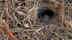 Wolf Spider sits patiently at its burrow Stock Footage