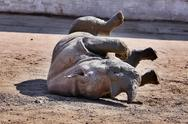 Stock Photo of rhinoceros in mud on back in ZOO