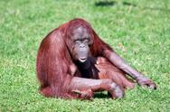 Stock Photo of orang-utan with smile in ZOO
