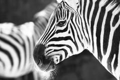 Monochrome photo  - detail head zebra in ZOO Stock Photos