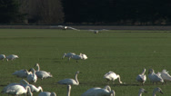 Stock Video Footage of Swans Landing , 4K, UHD