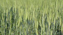 Close-up green wheat with wind blow - stock footage