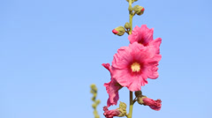 Pink hollyhock (Althaea rosea) flower blossoms with wind blow Stock Footage